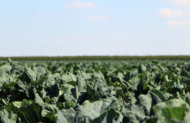 Brocoli Campos de cultivo 1
