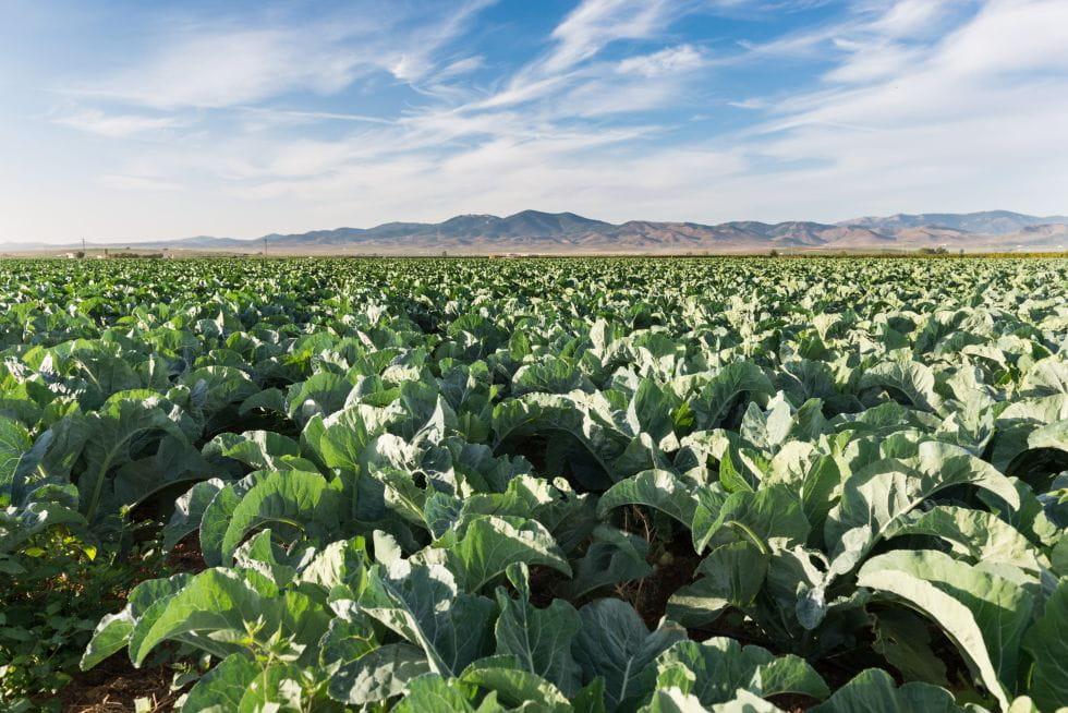 Brocoli Campos de cultivo 10