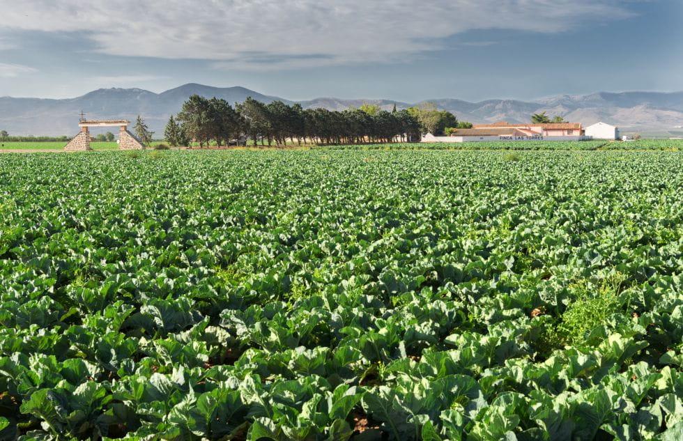 Brocoli Campos de cultivo 12
