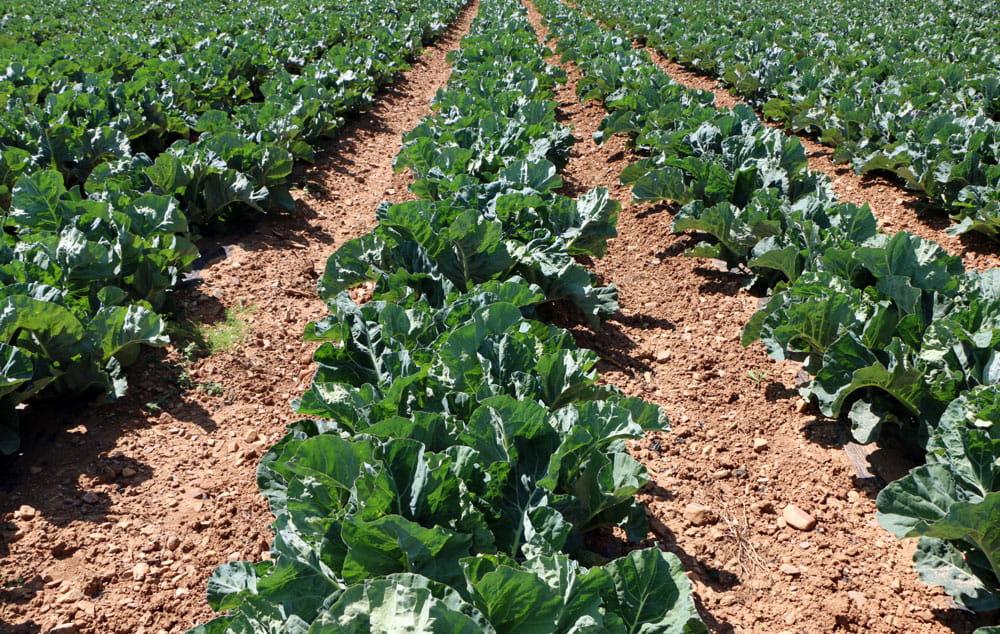Brocoli Campos de cultivo 2