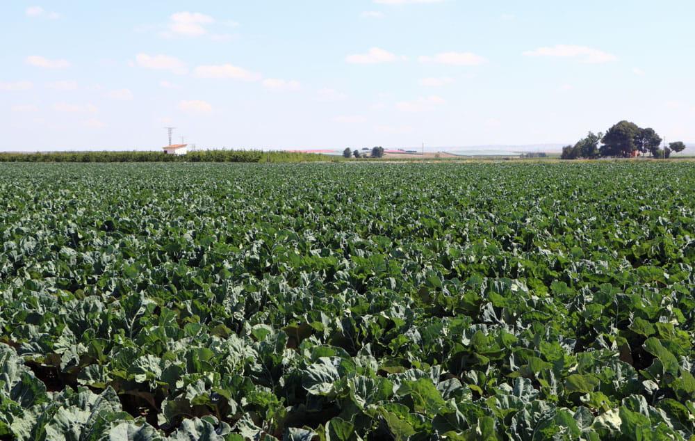 Brocoli Campos de cultivo 3