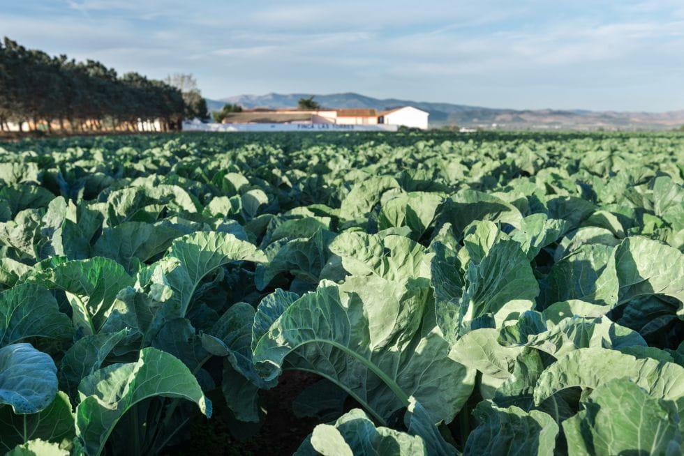 Brocoli Campos de cultivo 4