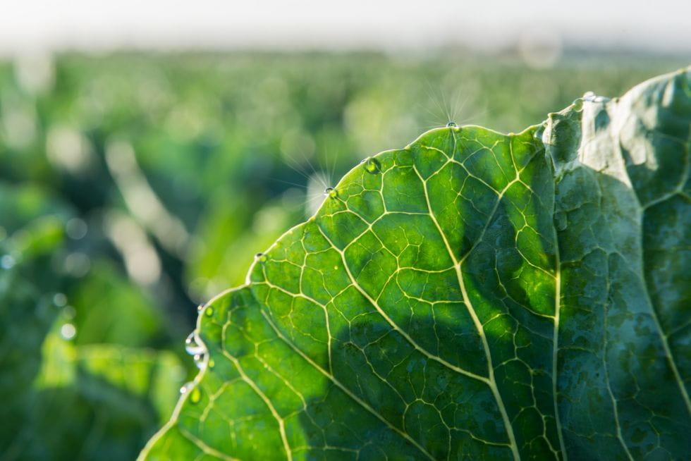 Brocoli Campos de cultivo 5
