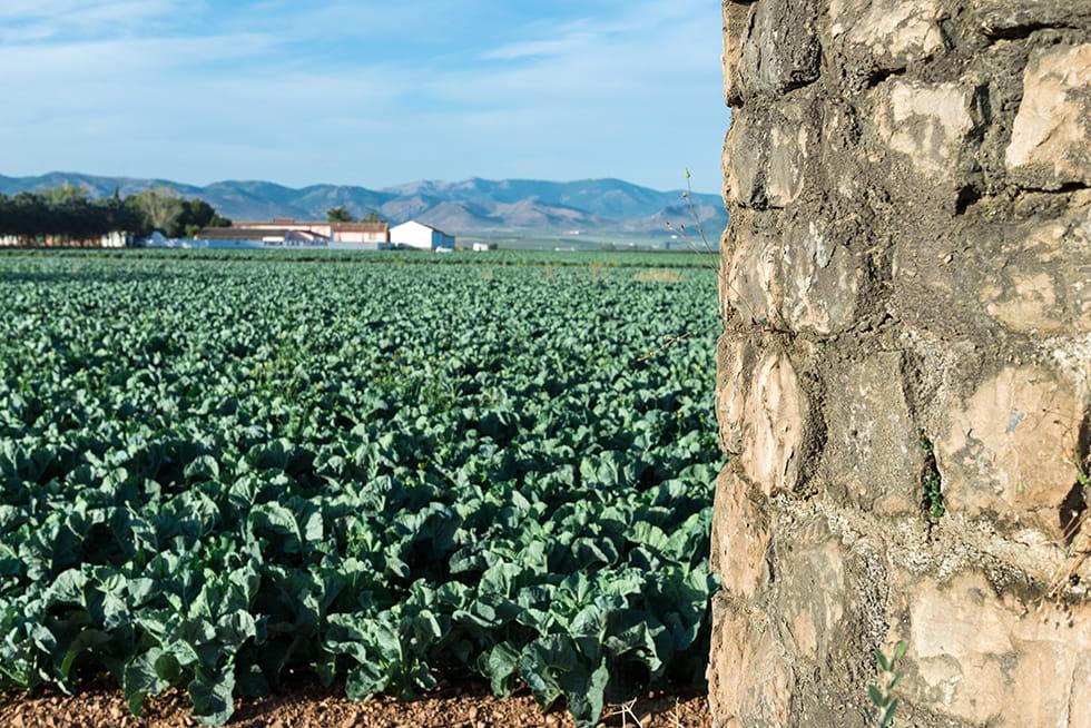 Brocoli Campos de cultivo 7