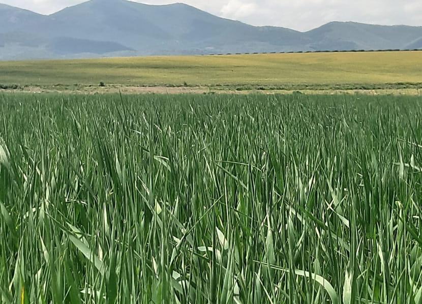 productos-cebada-cultivo-actiture